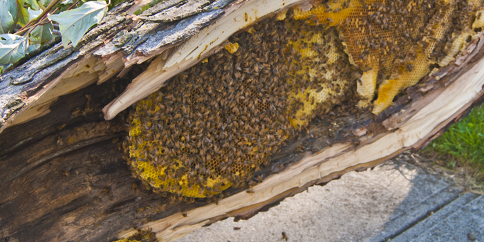 Bees in downed tree